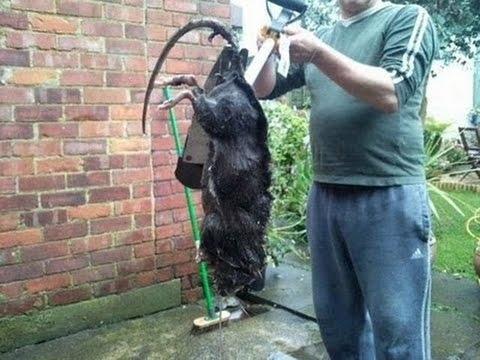 Крысы-мутанты стали причиной коммунальной аварии в Москве