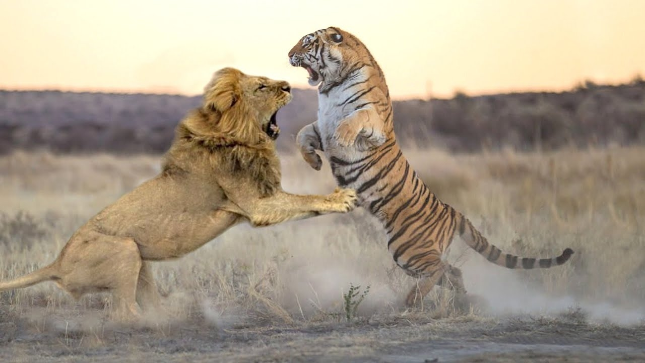 ЛЕВ против ТИГРА! Реальные Настоящие бои!